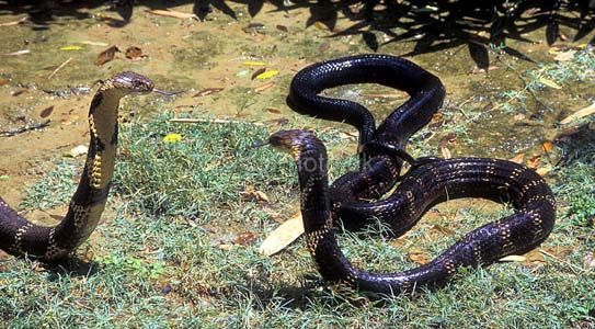 snakes-fighting-2